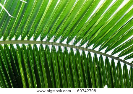Green color leaf, coconut tree leaf, abstract leaf, background coconut leaf