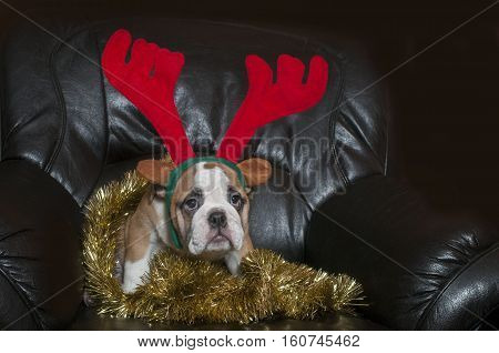 English bulldog wearing christmas antler funny expression.