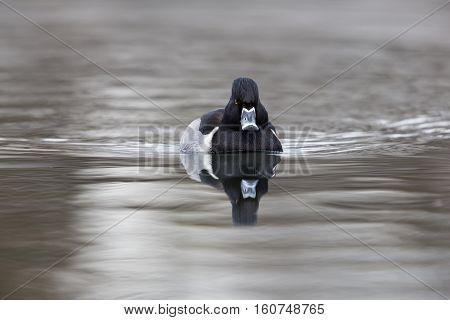 Front view of natural ring-billed duck (Aythya collaris Marila collaris Nyroca collaris)