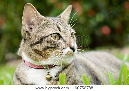 Siamese cat, beautiful and cute cat of Thailand