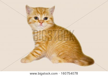 Red kitten on pink background. Tiger Sunny little kitten. Cat of the British breed. Look soft kitty.