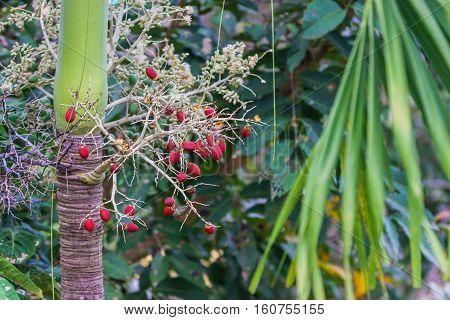 Cyrtostachys Renda ornamental plant in the gardens.