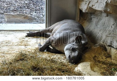sleeping single tapir in captivity zoo wild animal