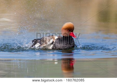 Male red-crested pochard (Netta rufina) swimming pluming and splashing