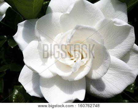 Image of a white glorious gardenia blossom