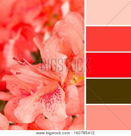 Coral azalea blooms with color swatches pulled from image.