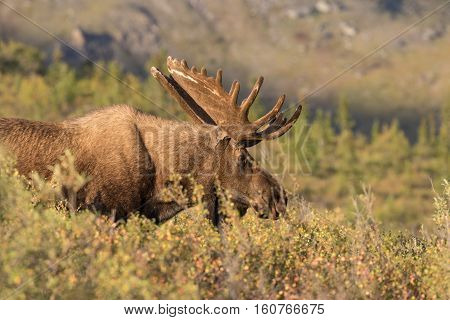 an alaska-yukon bull moose in Denali national park