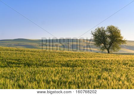 Springtime. Between Apulia and Basilicata: vernal hilly landscape with wheat field and lonely tree.