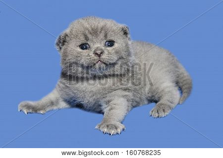 Smiling kitten saw the world. A newborn kitten has recently opened his eyes. British blue cat baby on a blue background.