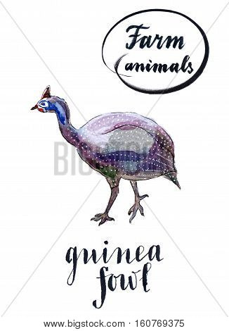 Farm bird: guinea fowl hand drawn - watercolor Illustration