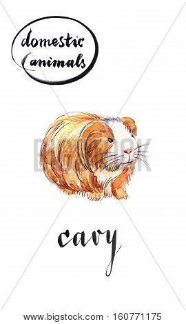 Ligth brown long-haired cavy with white muzzle hand drawn - watercolor Illustration