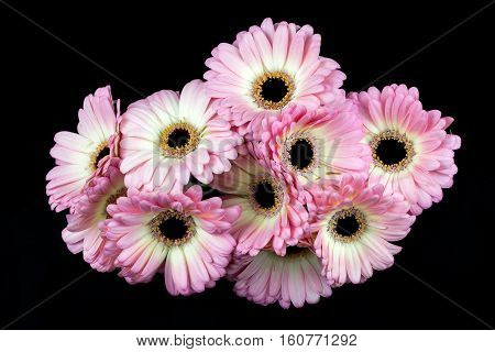 Close-up of pastel germini flowers. Zen in the art of flowers. Macro photography of nature.