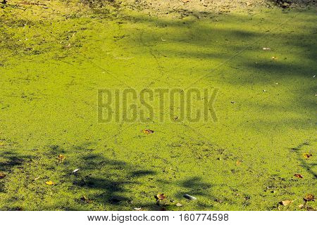Green algae and duckweed in the water surface