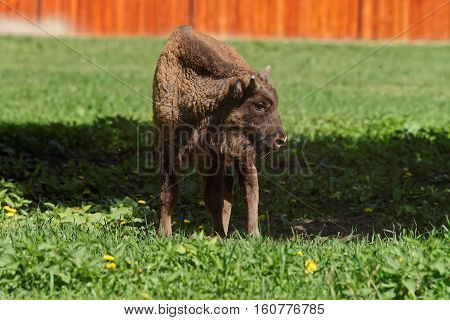 Calf Of Bison At Bialowieza National Park In Poland