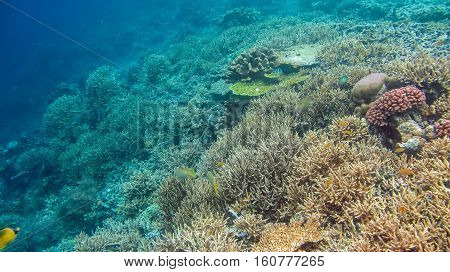 The Riff Edge covered by beautiful Corals on Kri, Raja Ampat, Indonesia.