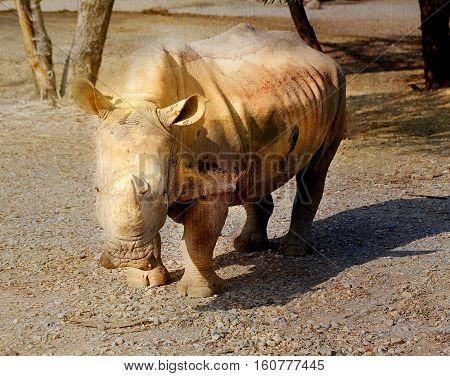 Beautiful Rhino in the Safari of Bangkok photograph closeup