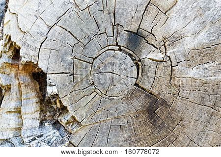 Texture of decayed tree rings for background use