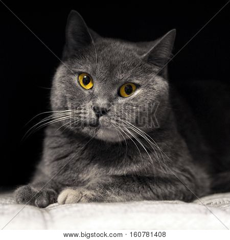 Beautiful cat with a mysterious smile and yellow eyes. The cats look at me. British purebred cat. Gentle home Pets. Animals cat in the house.