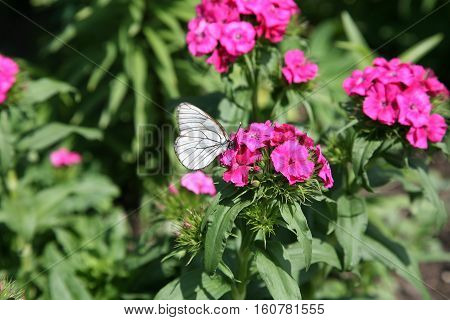 Black-veined White Butterfly on roses flowers macro