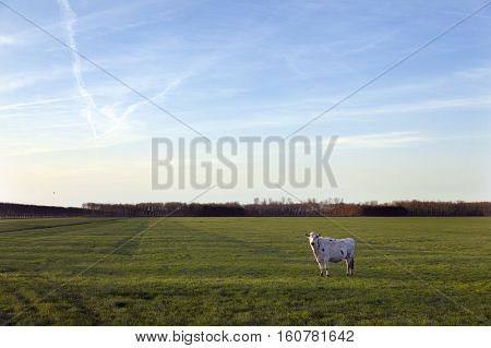 cow in meadow of polder purmer near purmerend north of amsterdam in the netherlands