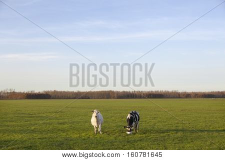 two cows in meadow of polder purmer near purmerend north of amsterdam in the netherlands