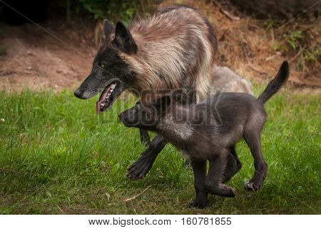Black Grey Wolf (Canis lupus) and Pup Trot Left - captive animals