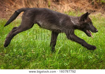 Grey Wolf (Canis lupus) Pup Runs Right - captive animal