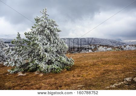 Fir Covered With Snow And Hoarfrost Stands On The Glade With Dry Grass At The Beautiful Background O