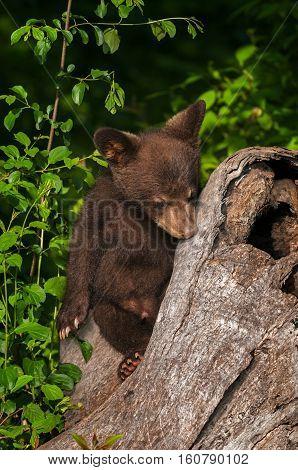 Black Bear Cub (Ursus americanus) Rests On Log - captive animal