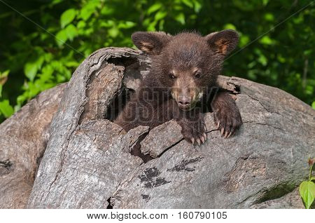 Black Bear Cub (Ursus americanus) Splayed Ears in Log - captive animal
