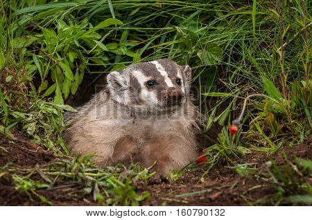 North American Badger (Taxidea taxus) Gazes Out of Den - captive animal