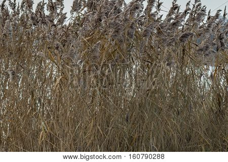 Reeds and thicket next to Frensham pond in Surrey