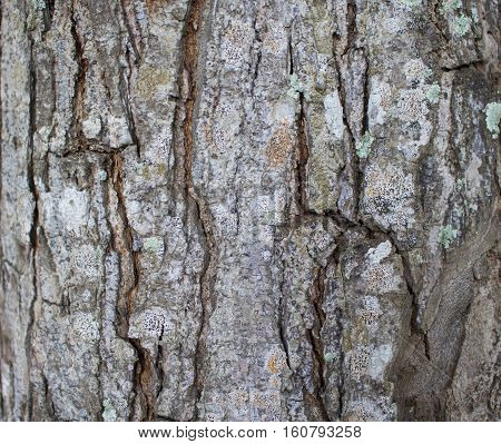 Tree bark texture close up photo. Brown and grey wood background. White old tree near the sea. Cracked peel of rustic tree. Rough timber texture. Old oak bark macro backdrop. Timber background image
