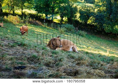 Brown cows grazing in the spanish valley