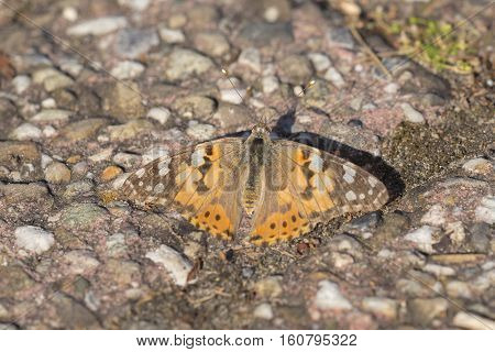Painted Lady (Vanessa cardui) butterfly resting on the ground