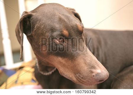 Doberman Pinscher laying on a dog bed