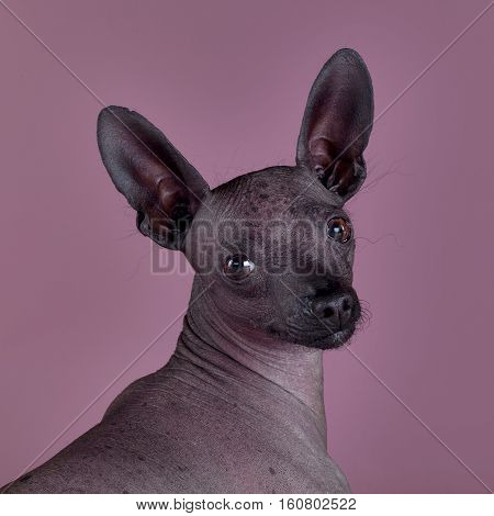 Mexican hairless dog portrait on the studio