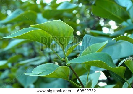 Nature background. Green tree. Summer nature. Green foliage. Green plant. Summer tree.
