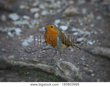 Robin on a tree root in winter