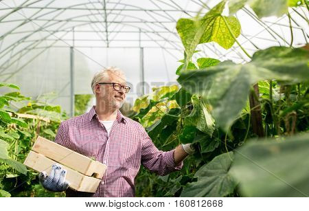 farming, gardening, agriculture, old age and people concept - senior man with box harvesting crop of cucumbers at greenhouse on farm