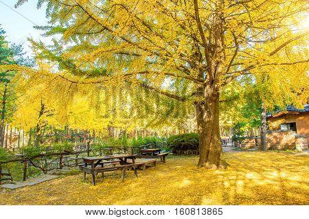 Autumn with ginkgo tree in Nami Island Korea.