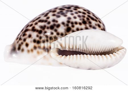 sea shells of tiger cowry isolated on white background