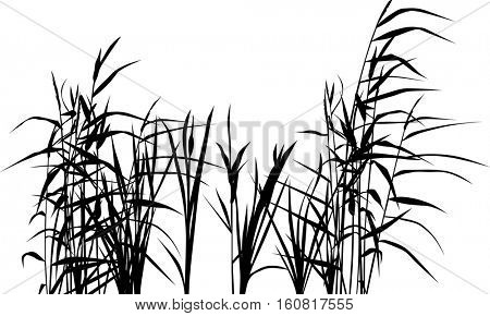 illustration with reed silhouettes isolated on white background