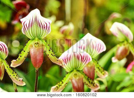 Paphiopedilum orchid flowers in the park Thailand.
