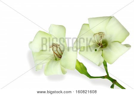 Close-up beautiful white flowers isolated on a white background.