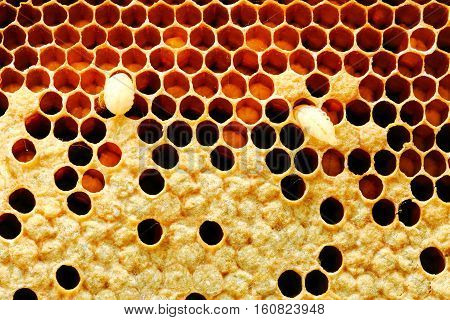 Close up view of beesbee larva on honey cells.
