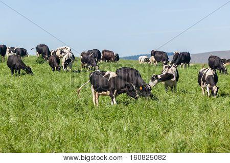 Cattle Farmlands