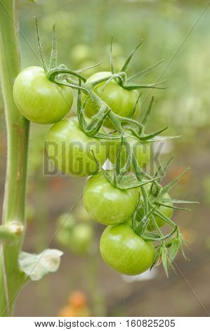 Unripe green tomatoes growing in a greenhouse