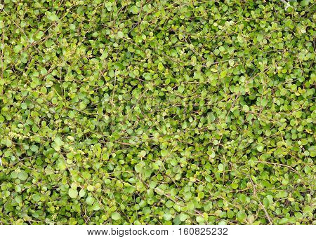 Low creeping plant that forms a dense cover on the ground