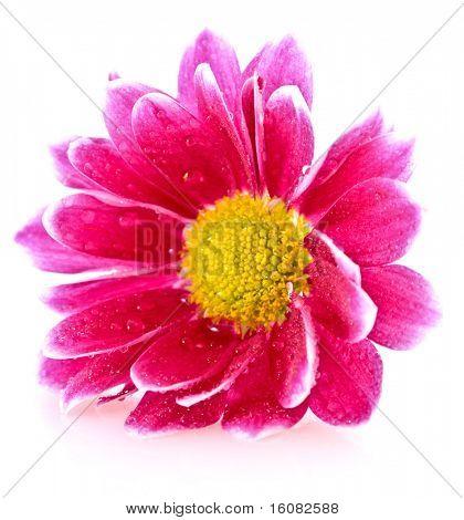Red Flower over white